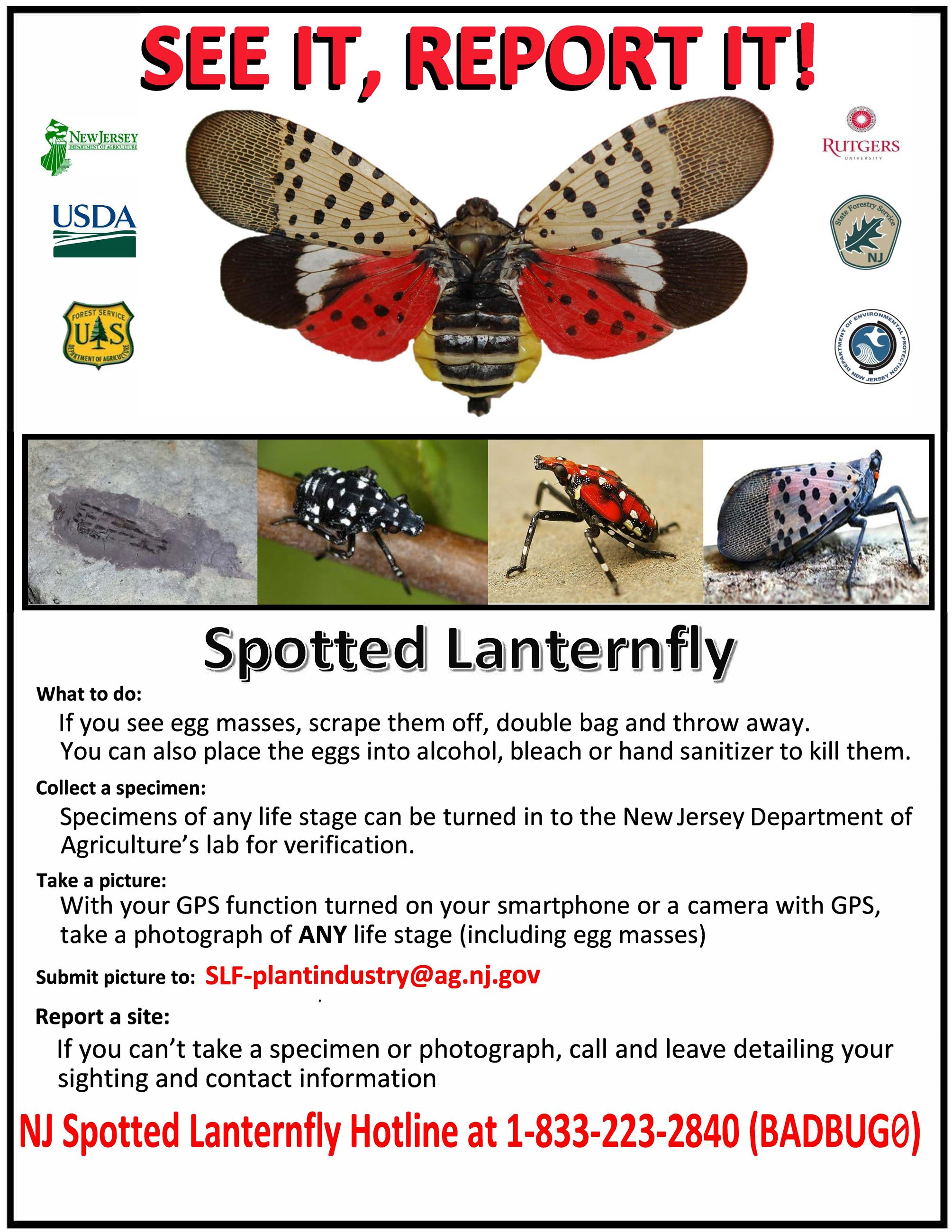 Spotted Lanternfly info card