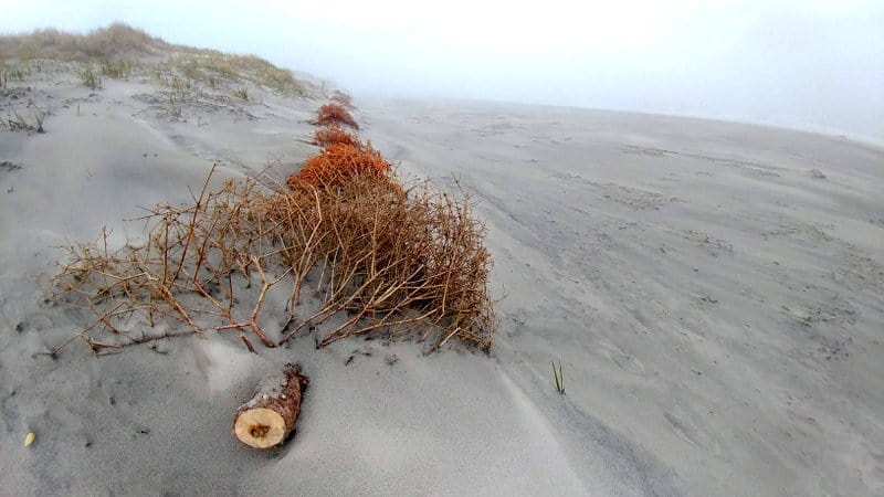 Christmas tree in the dunes