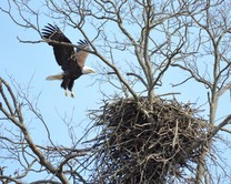 Nesting bald eagles return to the capital county. (Photo by Kevin Buynie)